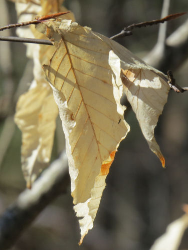 persistent beech tree leaves