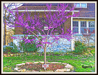 Redbud tree transplant in spring