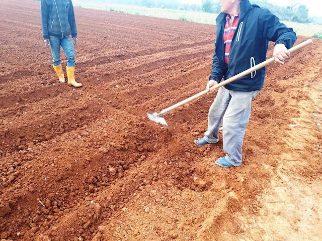 【菜脯埕】老闆楊挺寬正在為田埂挖一條排水線