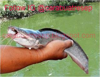 Foto Resep Umpan Ikan Lele Galatama Air Hijau Malam Hari Joss Gandos Sering Juara Lomba Mantap Poll Asli