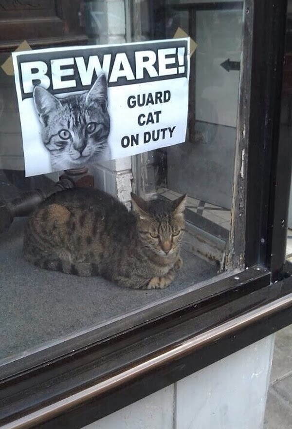 Funny cats - part 88 (40 pics + 10 gifs), cat sits on shopwindow with a sign beware guard cat on duty