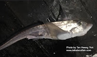 Silver Chimaera, Ghost Shark