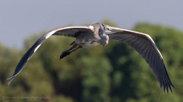 Grey Heron in flight Closer Table Bay Nature Reserve Woodbridge Island Milnerton Photo Vernon Chalmers