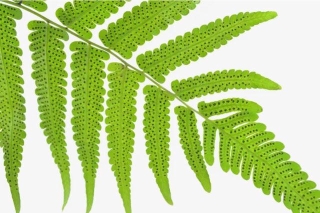 Siklus Hidup Tumbuhan Pakis (Tumbuhan Paku)