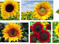 Cara Budidaya Biji Bunga Matahari