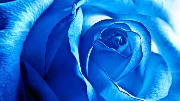 mawar biru wallpaper