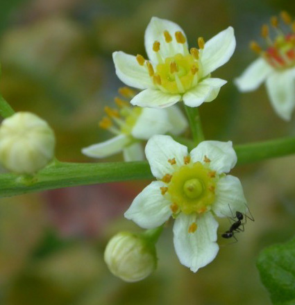 Prima Fleur Botanicals Prima Fleur Co2 Extract Frankincense