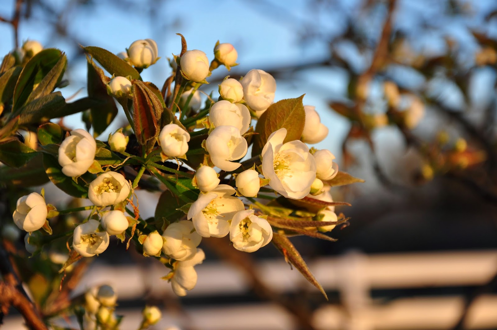 Pear Trees in Blossom Hickory Ridge Studio