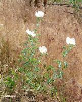 prickly poppy Argemone polyanthemos