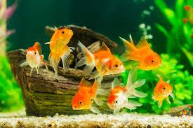 Cara Memelihara Ikan Mas Koki Di Akuarium Tanpa Oksigen Agar Tetap Hidup