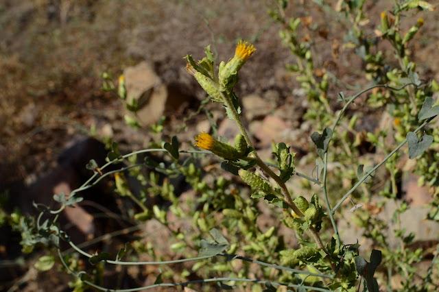 yellow stout flower