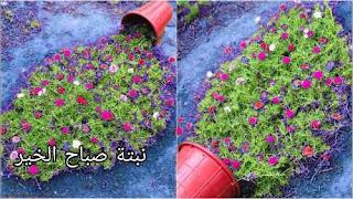 كيف تتكاثر نبتة صباح الخير