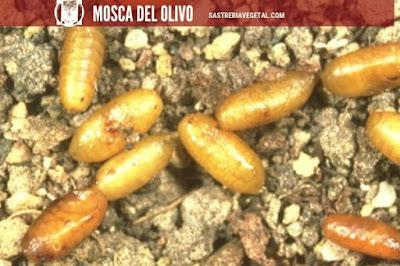 La pupa de la mosca del olivo es de forma elipsoidica, alargada y truncada de color pardo rojizo y oscura