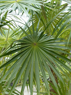Coccothrinax argentea - Palmier d'Hispaniola