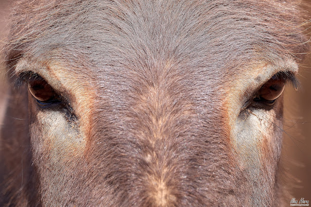 Donkey Stare