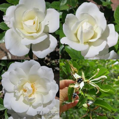 Iceberg roses and chewed Bauhinia