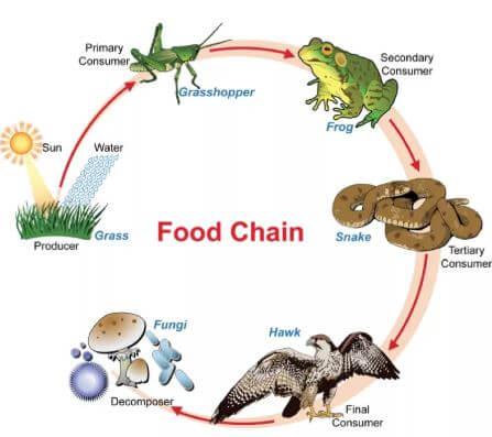ما هو الفرق بين السلسلة الغذائية وشبكة الغذاء؟