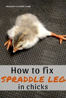 Fixing splay leg in chicks, directions