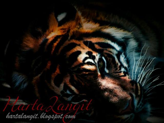 gambar macan/harimau loreng