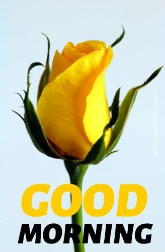 Good morning yellow rose flower