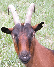 Oberhasli Goat Images, Milk, Weight, Size, Characteristics, Breed, Price