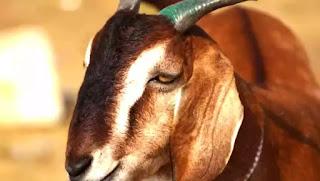 পাকিস্তানে একটি ছাগলকে যৌন নিপীড়ণ করে হত্যার অভিযোগে পাঁচ জনের বিরুদ্ধে মামলা - জাহান বাংলা নিউজ