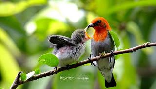 Search Results Web results  Cara Membedakan Jantan Dan Betina Burung Kemade Anakan