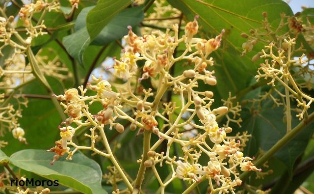 Flores de Firmiana simplex Parasol chino