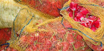 Tulpen destilleren