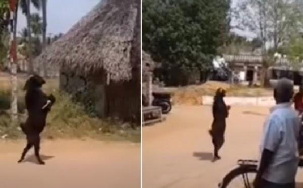 Captan a cabra negra caminando como humano en dos patas  y estremece a la red (VIDEO)