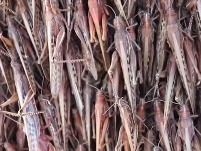 Nuvem de gafanhotos leva Ministério da Agricultura a declarar estado de emergência no RS e SC