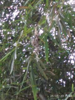 Sarang sogok ontong di pohon bambu