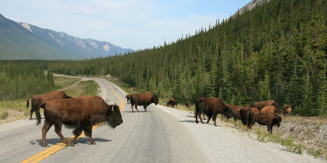 Nu kan du se bison i Banff National Park, Alberta, canada