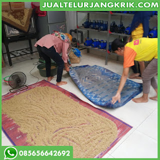 Jual Telur Jangkrik Daerah Medan