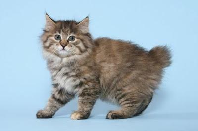 Perawatan Kucing Kurilian Bobtail