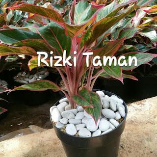 aglaonema, aglonema, lipstik, house plant