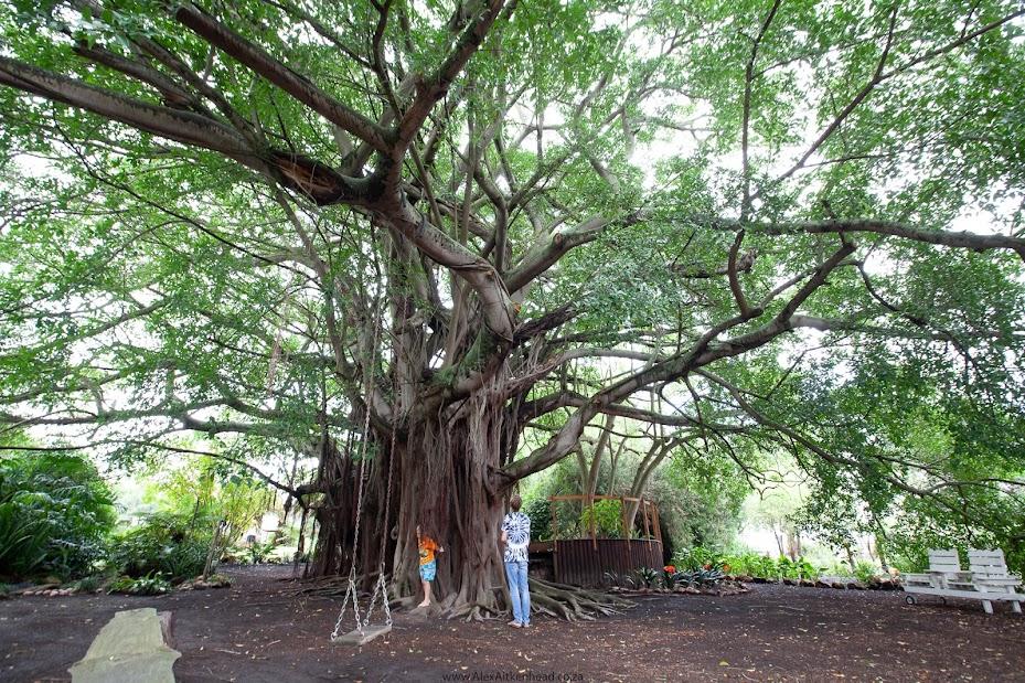Whispering tree, Champion Tree, trees, Tree Hunting, Albertinia, Gardens, Wild Fig Tree,