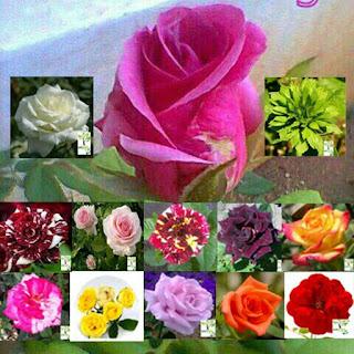 bibit-bunga-mawar.jpg