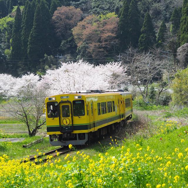 いすみ鉄道 東総元 桜 菜の花