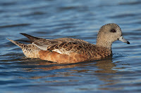 American Wigeon, female – Humber Bay Park, Toronto, ON – Mar. 2006 -photo by Mdf
