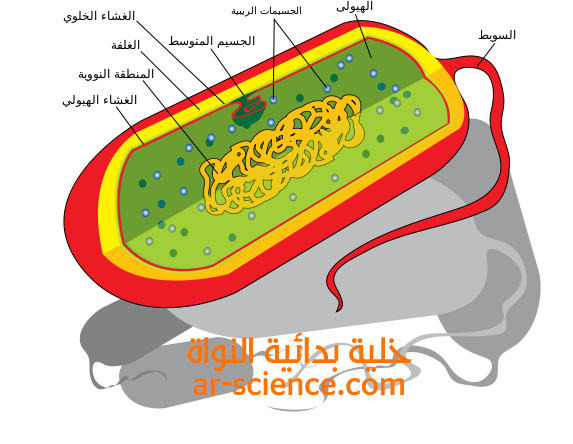 خلية بدائية النواة : Prokaryotic cell