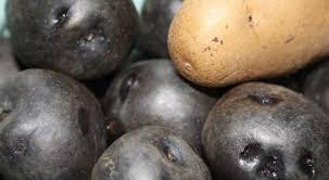 Black Potatoes Are More Superior than White Potatoes - Healthy T1ps