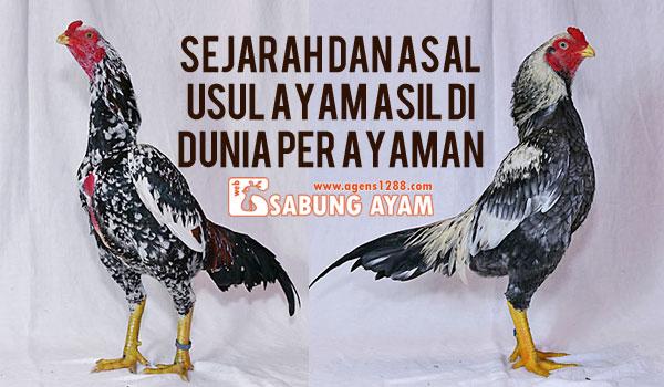 Sejarah dan Asal usul Ayam Asil di Dunia Per Ayaman
