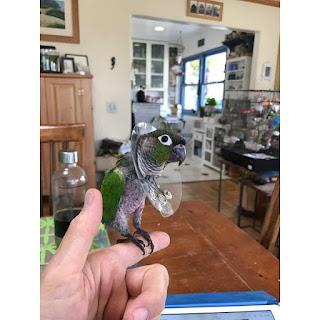 Mengatasi Lovebird Nyabut Bulu Hingga Botak