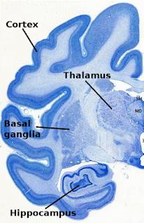 La corteza cerebral en azul intenso.
