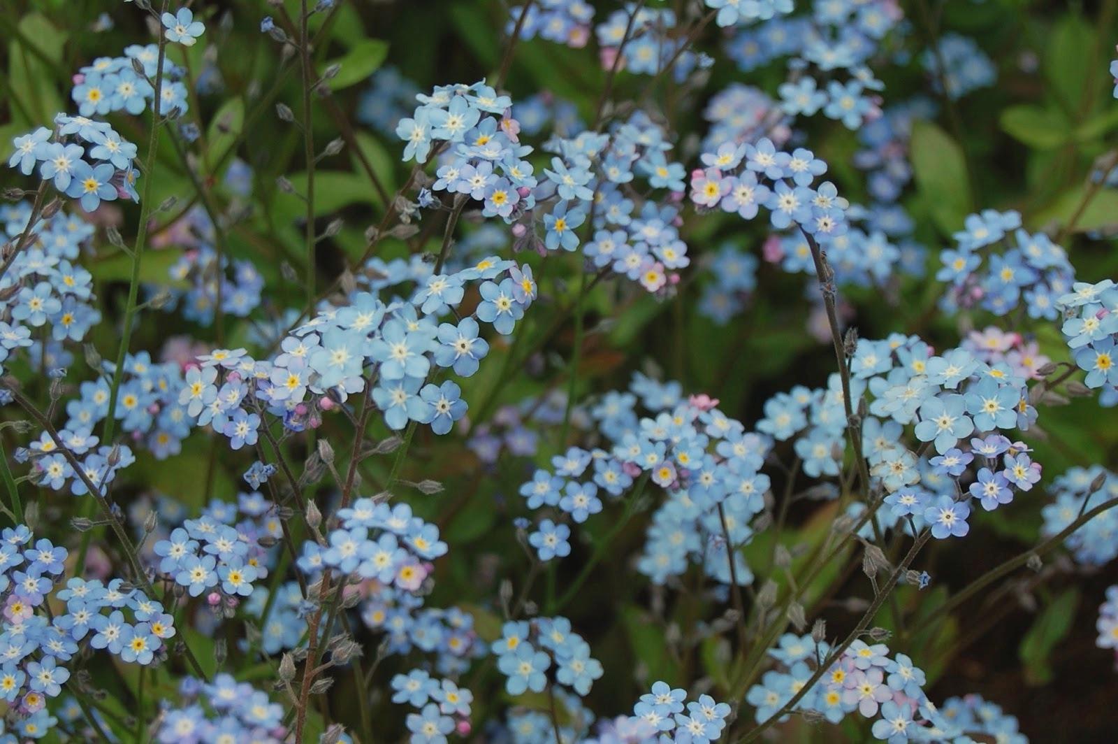 Ý nghĩa, cách trồng, tên tiếng Anh của hoa Lưu Ly xinh đẹp