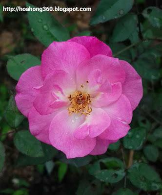 hoa hồng quế đơn