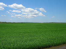 Dominion Farms Rice Crop