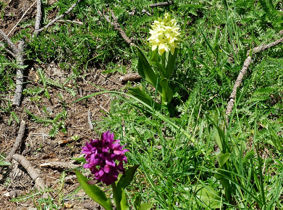 Mountain orchids near Cime de Marta