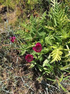 Dunkelrot Blumen Nachbarn